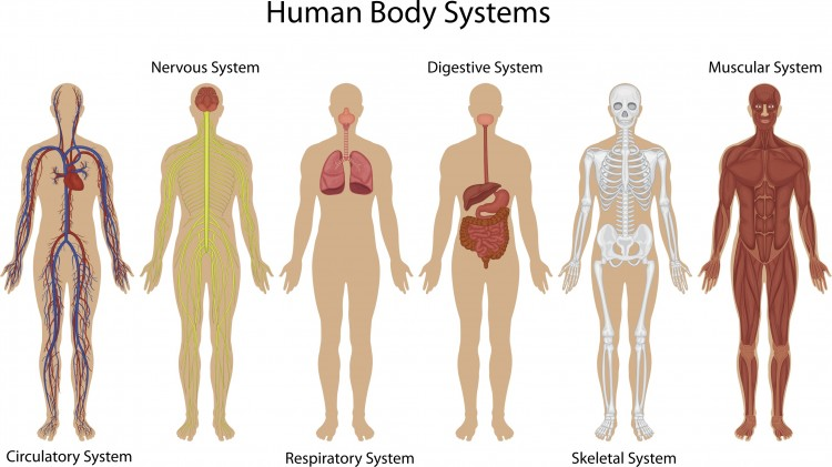 The Human Body Systems The Goodista Blog