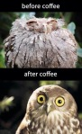 An owl looking out of sorts before coffee and fresh after to