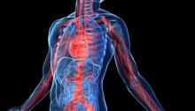 Vascular Human Body System