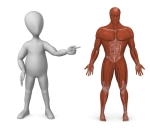 Figure pointing at a muscular system of a man to illustrate importance of Human Body Systems